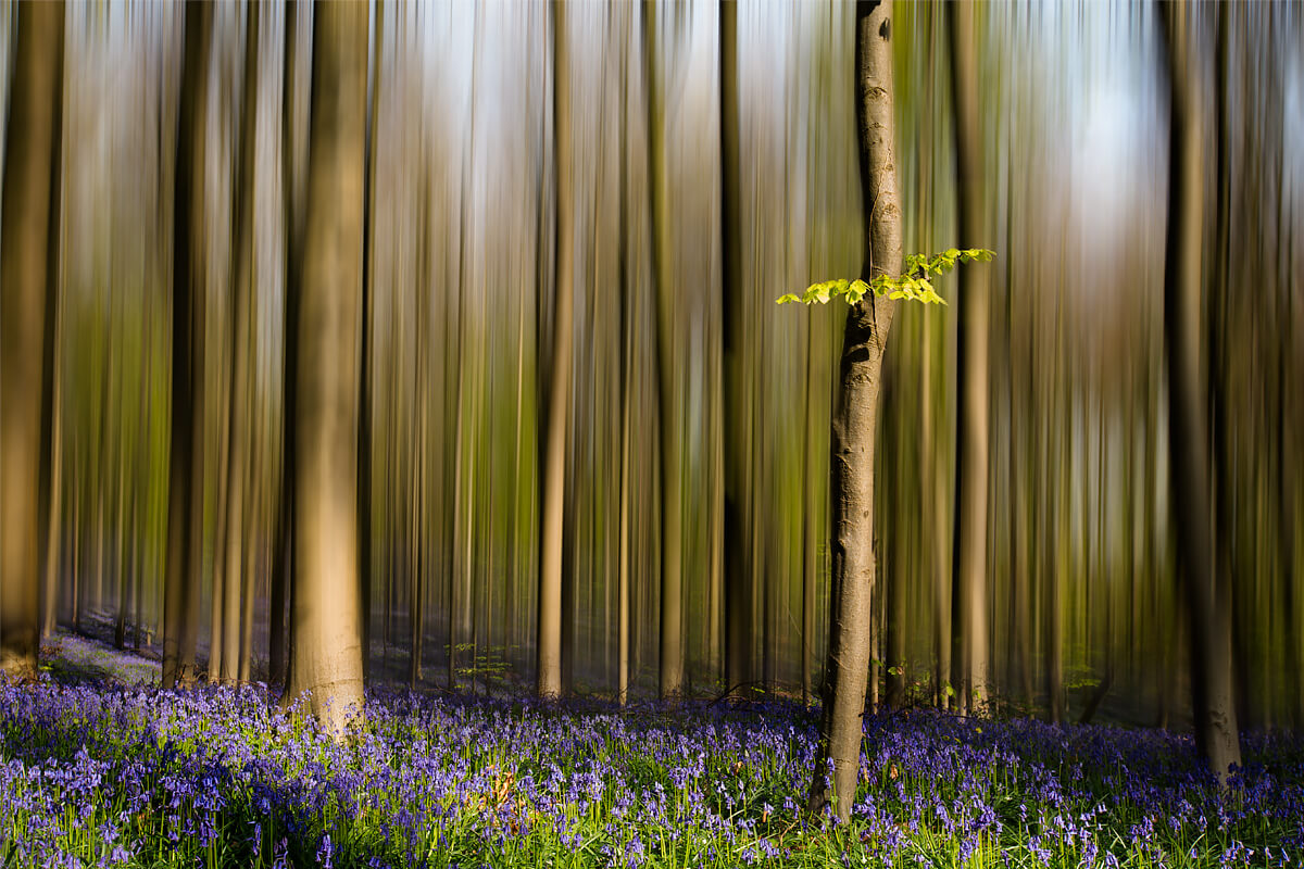 Hallerbos motion blur