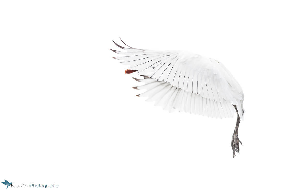 High_key_common_spoonbill