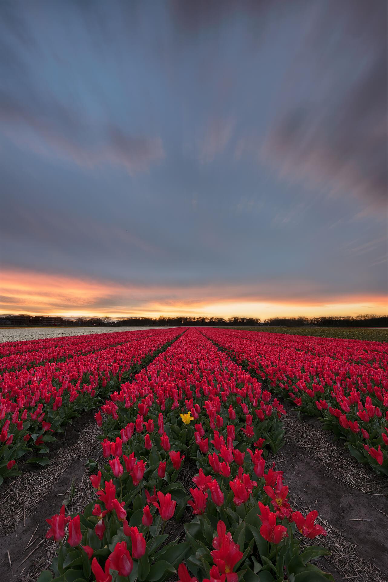 Tulips in Noordwijk