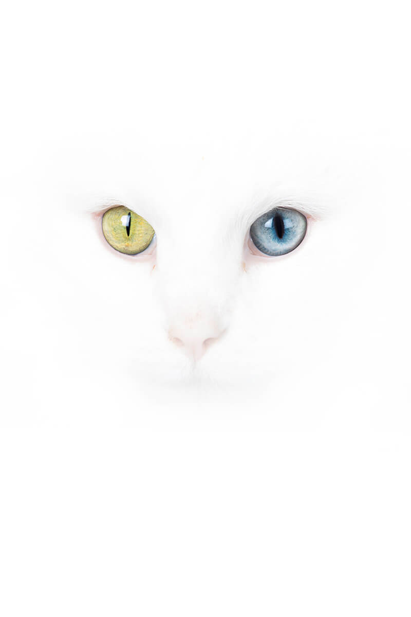 White cat yellow-blue eyes